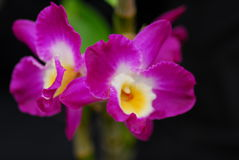 Pink yellow orchid flower Stock Images