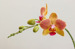 Pink and yellow orchid Royalty Free Stock Photo