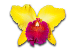 Pink and yellow Orchid Stock Photo