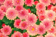 Pink and Yellow Petaled Flower Photo Royalty Free Stock Images