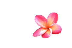 Pink and yellow of plumeria flowers on white background Royalty Free Stock Photos