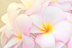 Pink and yellow Plumeria spp. Stock Photos