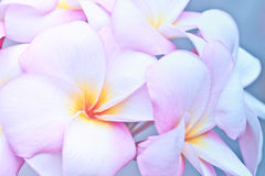 Pink and yellow Plumeria spp. Royalty Free Stock Images