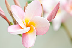 Pink and yellow Plumeria spp. Stock Photo