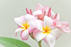 Pink and yellow Plumeria spp. Royalty Free Stock Photo