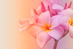 Pink and yellow Plumeria spp. Stock Image