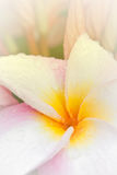 Pink and yellow Plumeria spp. Royalty Free Stock Photos