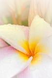 Pink and yellow Plumeria spp. Royalty Free Stock Photos