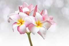 Pink and yellow Plumeria spp. Royalty Free Stock Image