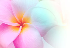 Pink and yellow Plumeria spp. Stock Images