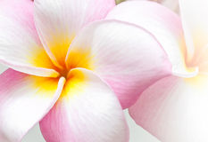 Pink and yellow Plumeria spp. Royalty Free Stock Photography