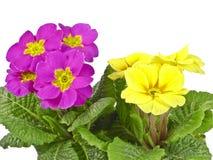 Pink and yellow primrose Stock Photo