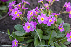Pink with yellow Primula Stock Image