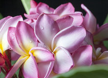 Pink Yellow Pulmeria Flowers 2 Royalty Free Stock Photo