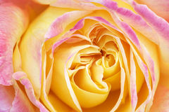 Pink and Yellow Rose Stock Images