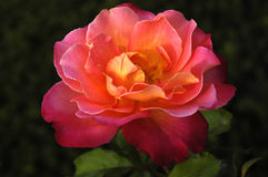 Pink and yellow rose Stock Image