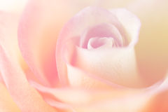 Pink-yellow rose Royalty Free Stock Photo
