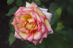 Pink and yellow rose. Closeup Stock Images