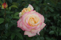 Pink and yellow rose. With dark green leaves Stock Images