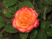 Pink-yellow rose Royalty Free Stock Photography