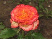 Pink-yellow rose Royalty Free Stock Image
