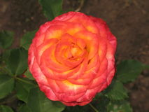 Pink-yellow rose Stock Images