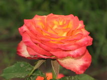 Pink-yellow rose Royalty Free Stock Photos