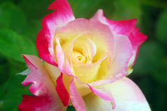 Pink Yellow Rose Flower Royalty Free Stock Images