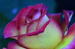 Pink and yellow rose Stock Photography