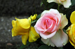 Pink and yellow. Rose in a garden Stock Photo