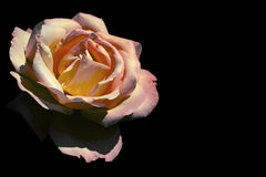 Pink and yellow rose Royalty Free Stock Photos