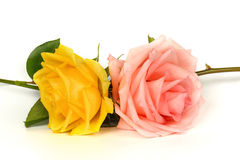 Pink and yellow rose isolated on a white background. Royalty Free Stock Images