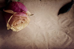 Pink-yellow rose on the slate dark-grey background. Top view. Vintage. Stock Image
