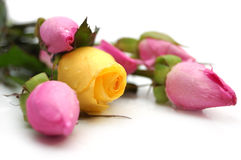 Pink and yellow roses Royalty Free Stock Image