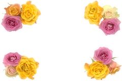 Pink and yellow roses Stock Photo