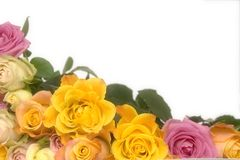 Pink and yellow roses Royalty Free Stock Photos