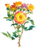 Pink yellow roses Stock Photography