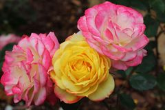 Pink and Yellow Roses Royalty Free Stock Photography