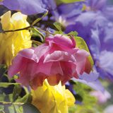 PINK AND YELLOW ROSES. GROWING IN AN ENGLISH COUNTRY GARDEN Royalty Free Stock Image