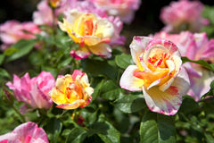 Pink and Yellow Roses Stock Photos