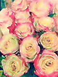 Pink and yellow roses watercolor illustration Stock Images