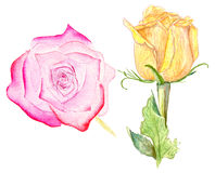 Pink and yellow roses. Watercolor illustration of pink and yellow roses on white background Royalty Free Stock Photo