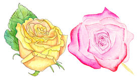 Pink and yellow roses, watercolor set. Set of watercolor pink and yellow roses on white background Stock Photos