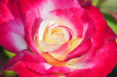 Pink and yellow single rose Royalty Free Stock Image