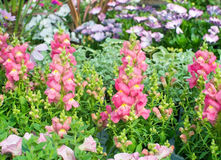 Pink and yellow snapdragon flowers Royalty Free Stock Photography