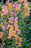 Pink and Yellow Snapdragons. Pink and Yellow Snapdragon Flowers, Winnipeg, Manitoba, Canada Stock Photography