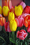 Pink and yellow spring tulips Stock Images