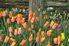 Pink and yellow tulips Royalty Free Stock Photography