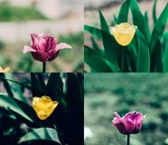 Pink yellow tulip collage stock image