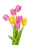 Pink and yellow tulip flower Stock Images